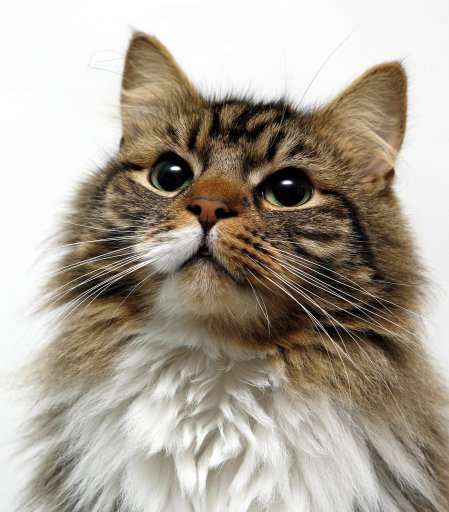 A stock image of a domesticated cat. Credit: PA